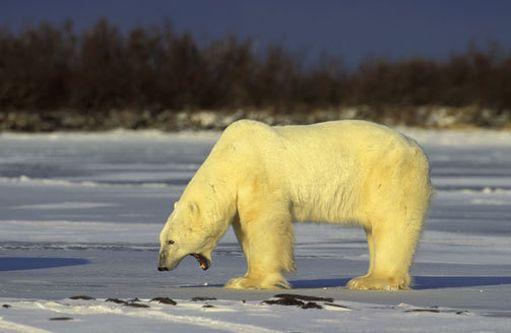 Osassa Yhdysvaltoja on tällä hetkellä liian kylmä jopa jääkarhuille.