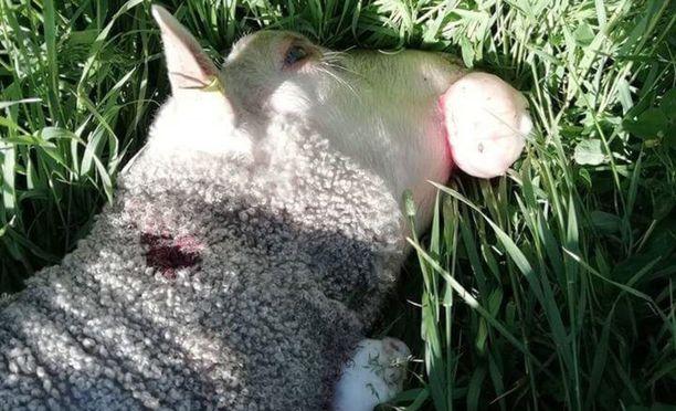 Susi tappoi kahdeksan pässiä Vaalassa.