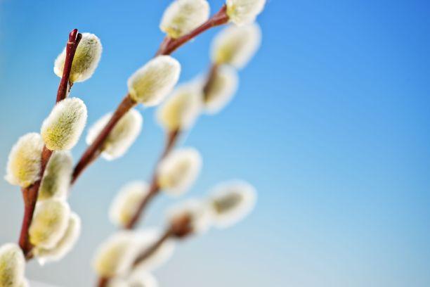 Kevät keikkuen tulevi.