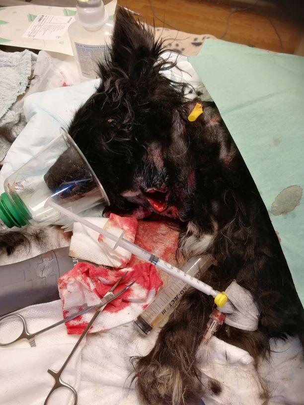 Lyyli-koiran vammat olivat niin vakavat, että se ei selvinnyt hyökkäyksestä hengissä.