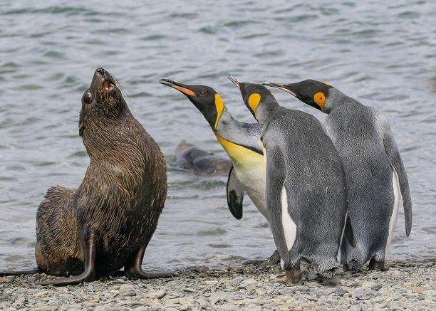 2018 FINALISTI Kuningaspingviinit kävivät neuvottelua turkishylkeen kanssa South Georgian saarella Etelä-Atlantilla.