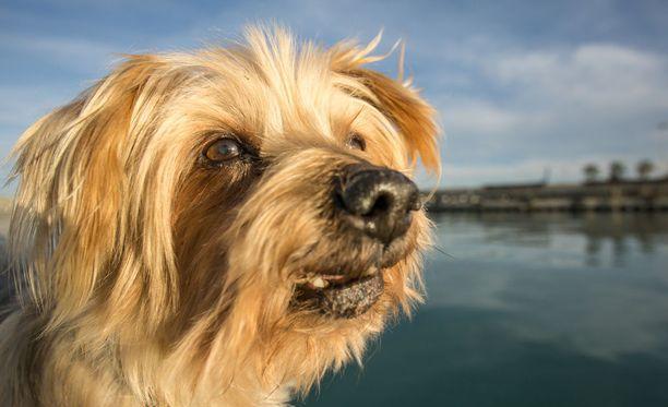 Tutkijat havaitsivat, että kotikoirat voivat haistaa ihmisen pelon - ja alkavat itsekin pelkäämään.