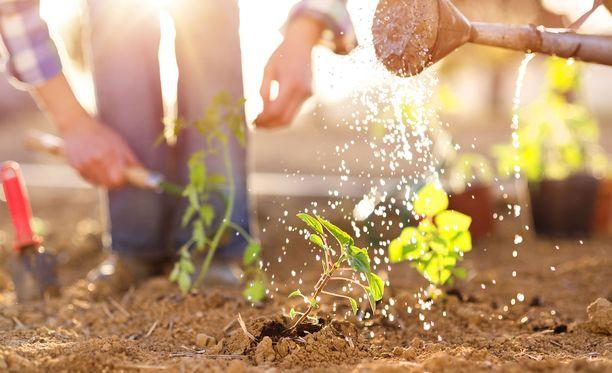 Puutarhanhoito on alkanut kiinnostaa enemmän nyt, kun kotonaolo on lisääntynyt.