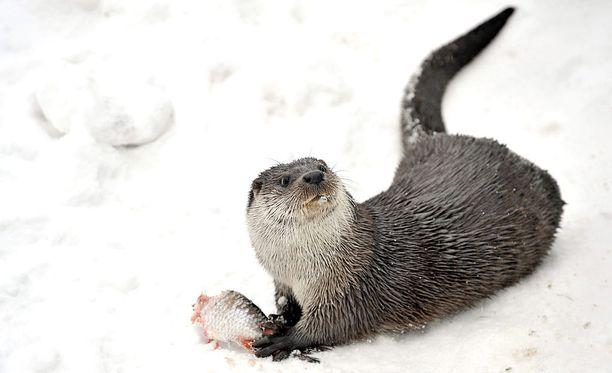 Yksi Mustiaapa-Kaattasjärven alueen uhanalaisista eläinlajeista on saukko. Kuvan saukko on kuvattu Korkeasaaressa.