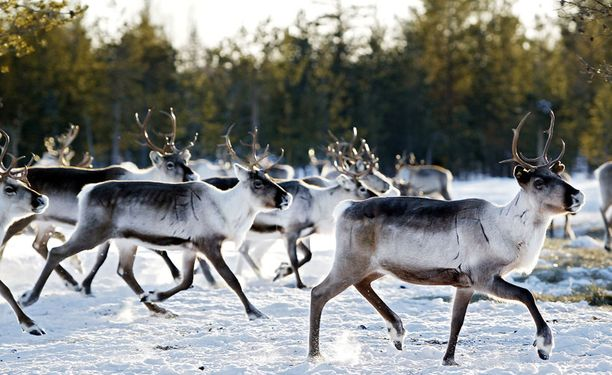 Brittiläiset eläinaktivistit väittävät, että poronlihan myyminen pilaa joulun.