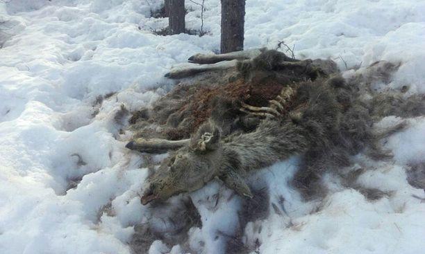 Kuolleet hirvet ovat lähinnä vasoja ja muita nuoria yksilöitä.