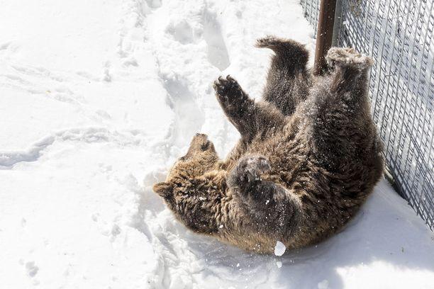 Ranuan eläinpuiston ruskeakarhu pääsi suoraan talviunien jälkeen peuhaamaan lumihankeen.