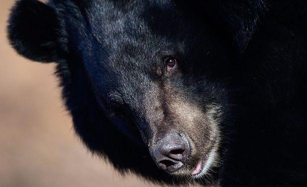 Karhu raateli turistin Thaimaassa. Kuvan kauluskarhu ei liity tapaukseen.