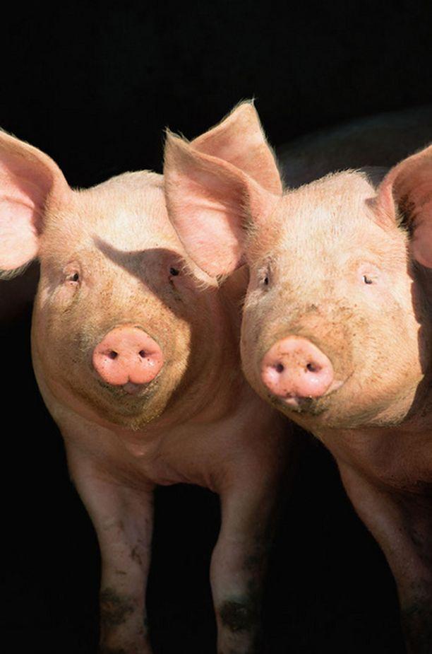 Suomen neljäs sikainfluenssatapaus varmistui lauantaina.