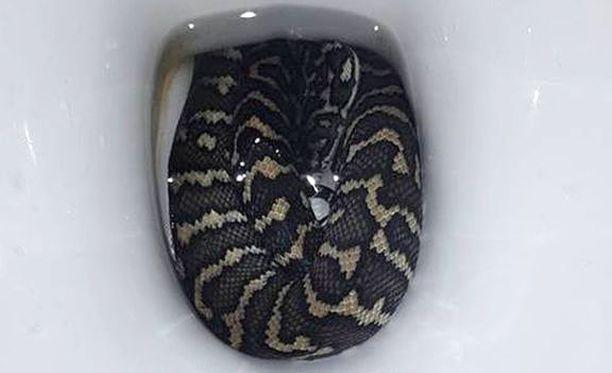 Käärme oli ilmeisesti hakeutunut vessanpönttöön juomaan, koska Australiaa koettelee ennätysmäinen kuumuus.