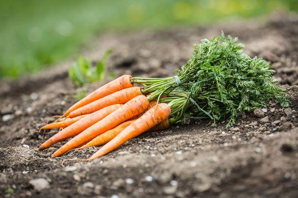 Porkkanat on viisainta pestä ennen syömistä, vaikka ne olisivat oman tarhan tuotteita.