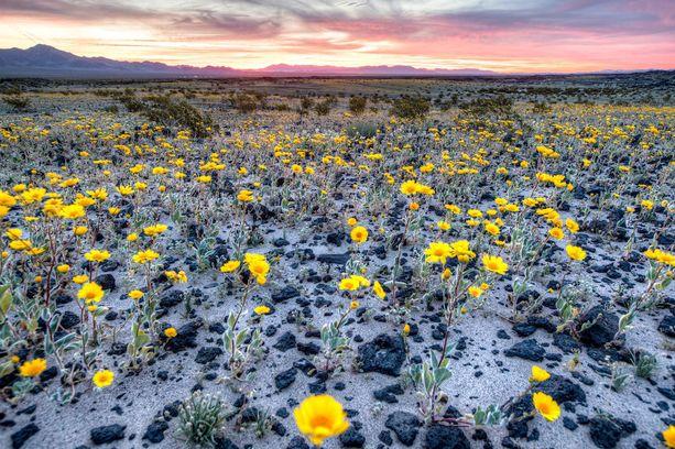 Kukkia on noussut sellaisiinkin paikkoihin, joissa niitä ei ole nähty pariinkymmeneen vuoteen.