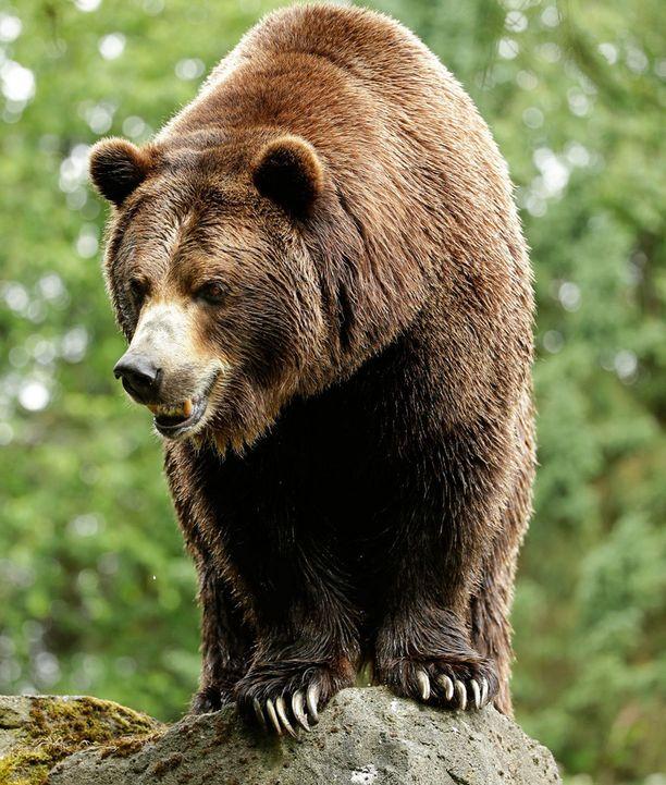 Harmaakarhut poistetaan piakkoin uhanalaisten lajien listalta.