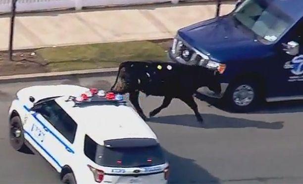 Härkä saatiin jo kertaalleen piiritettyä, mutta se karkasi uudelleen.