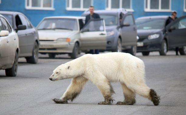 Jääkarhu vaikuttaa liian nääntyneeltä hyökätäkseen ihmisten kimppuun.