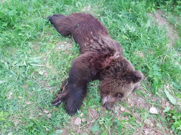Poliisi joutui lopettamaan asutusalueelle toistuvasti pyrkineen nuoren karhun Punkaharjulla.