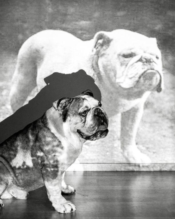 Monet englanninbulldoggit kärsivät hengitysvaikeuksien lisäksi huonossa kunnossa olevista lonkista ja kyynärnivelistä sekä epämuotoisista selkänikamista. Rodulla on myös paljon synnytysvaikeuksia.