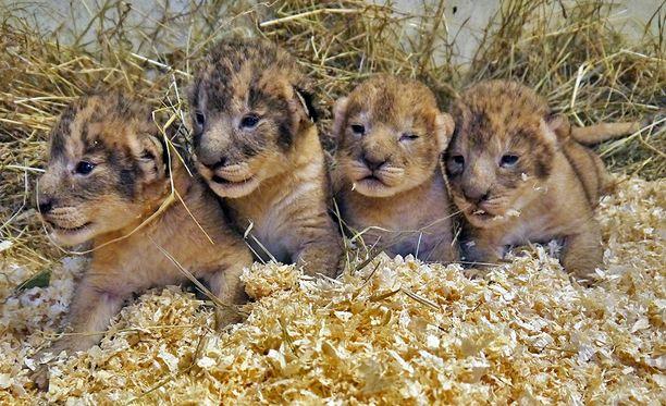Näitä neljää poikasta (Simba, Nala, Sarabi ja Rafiki) esiteltiin yleisölle keväällä 2012. Kaikki lopetettiin syksyllä 2013.