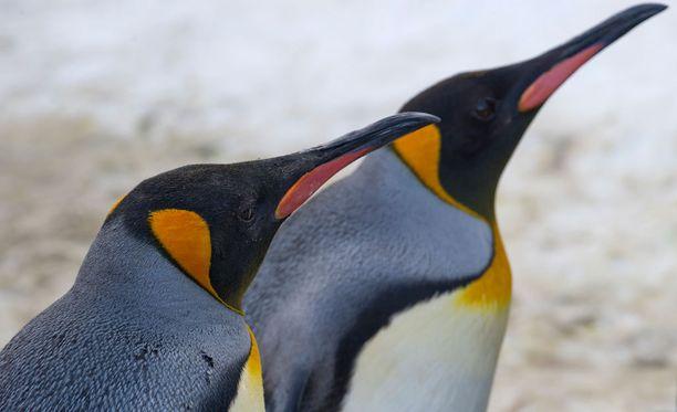 Tutkijoiden mukaan pingviinejä uhkaa täystuho Etelämantereella.