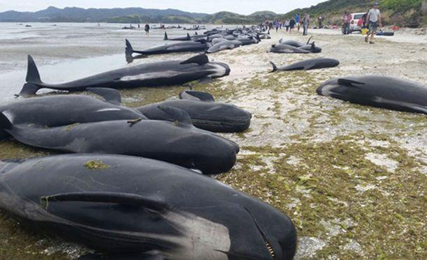 Uudessa-Seelannissa ajautui tällä viikolla rantaan satoja valaita.