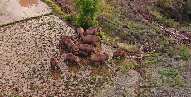 Kulkiessaan halki viljelysten ja kylien elefantit ovat aiheuttaneet valtavat taloudelliset tuhot.