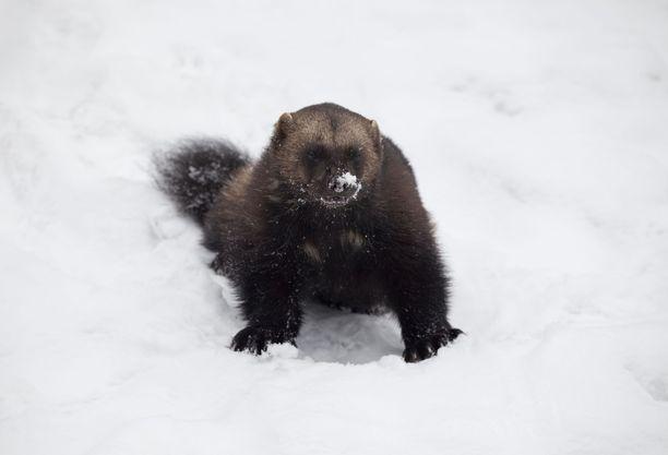 Ahma on Suomessa erittäin uhanalainen laji.