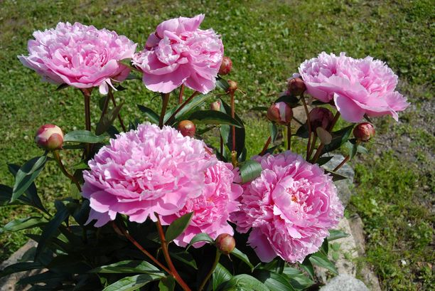 Sarah Bernhardt on suosituin pionilajike Suomessa.