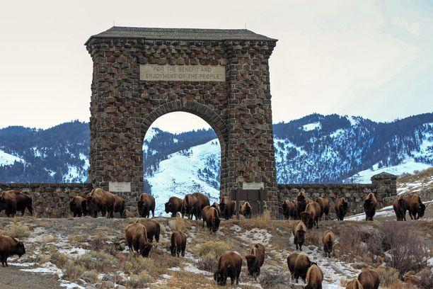 Eläimiä pääsee ihmettelemään jo Yellowstonen kansallispuiston portilla.
