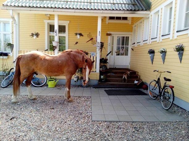 Toinen perheen hevosista kulkee vapaana pihalla eikä koskaan karkaa minnekään.