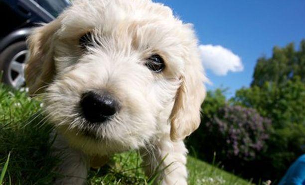VAROITUS Facebookissa levinnyt viesti varoittaa kaikkia koiranomistajia punkkipannan aiheuttaneen lemmikin kuoleman. Kuvan koira ei liity tapaukseen.