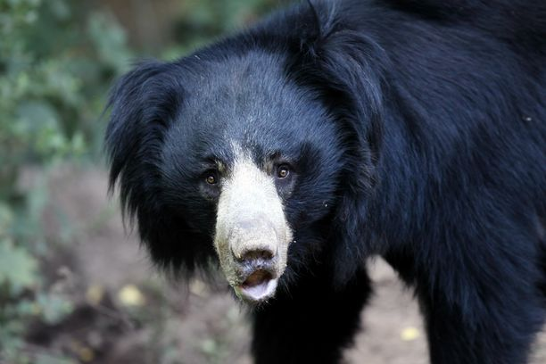 Uhanalaisia huulikarhuja elää Etelä-Aasiassa.