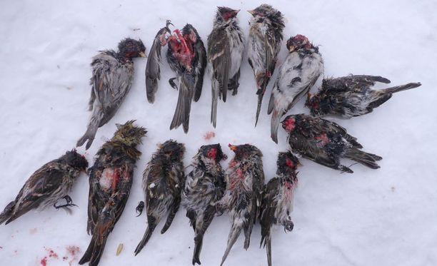 - Tiaiset ja urpiaiset eivät juuri kesäisin kohtaa. Talvella tilanne on toinen, kun ne kerääntyvät samalle lintulaudalle, luontokuvaaja Lassi Kujala sanoo.