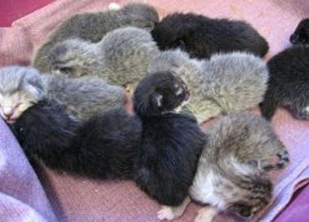 Keossa on yhdeksän kissanpentua. Kaikki syntyivät terveinä.