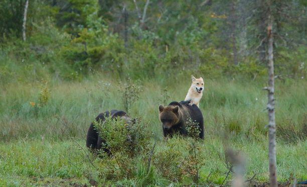Susi leikkii nuorten karhujen kanssa.