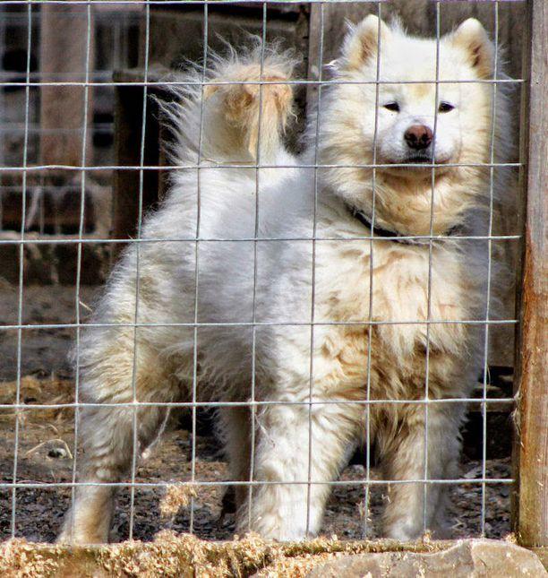 Omistaja siirsi koiransa metsästä yksityisalueelle uusiin tarhoihin. Kuva toukokuulta 2013.