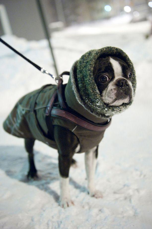 Bostoninterrieri Eppu oli varustettu hyvin kylmää pakkasiltaa varten.