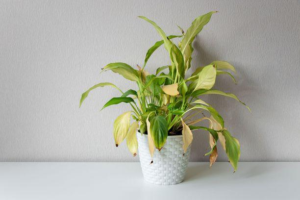 Elvytä talven jäljiltä nuupahtaneet kasvit. Keltaiset lehdet ovat tuttu näky.