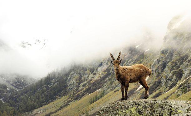 Gran Paradisossa ei voi välttyä näkemästä vuoristokauriita. Ne eivät pelkää juurikaan ihmisiä.