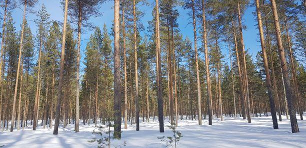 Luonnon monimuotoisuudesta ei suomalaisessa mäntyvaltaisessa talousmetsässä pääse puhumaan.