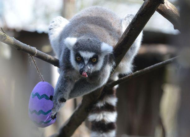 Makit saivat avata värikkäitä pääsiäismunia Lontoon eläintarhassa.