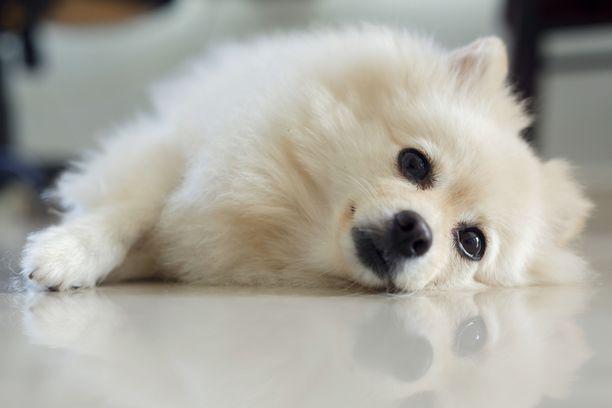 Koira voi saada jauheesta pahoinvointia ja esimerkiksi vatsavaivoja. Kuvituskuva.