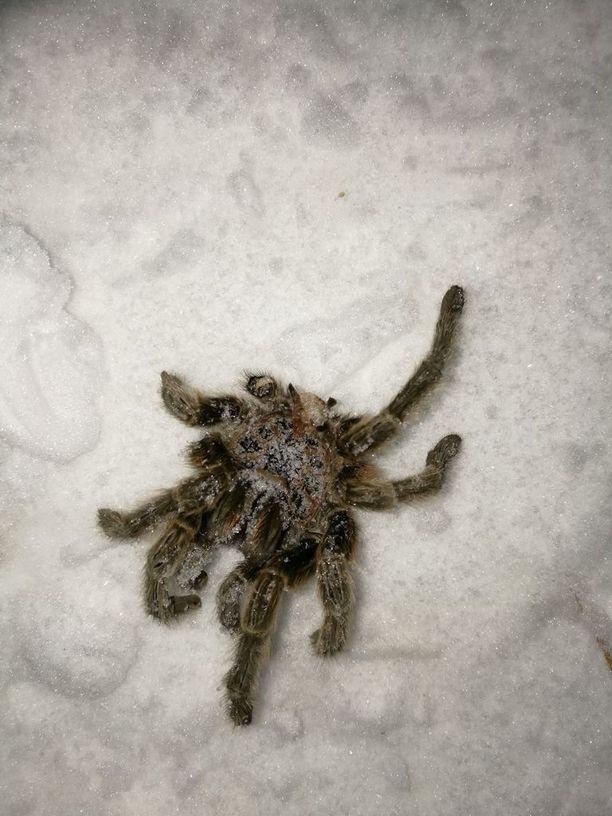 Tarantulalta näyttävän hämähäkin nahka odotti perheenäitiä kotiportaiden vieressä.