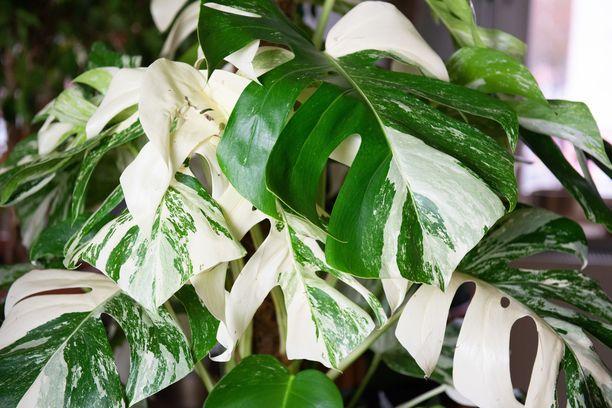 Kuvassa himottu värivirheellinen peikonlehti, monstera variegata, jonka pistokkailla voi tehdä hyvää tiliä somessa.