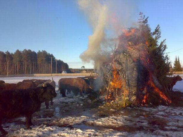 Myös ylämaankarja nauttii perinteisesti Kujalan ja Särkijärven pääsiäiskokosta.