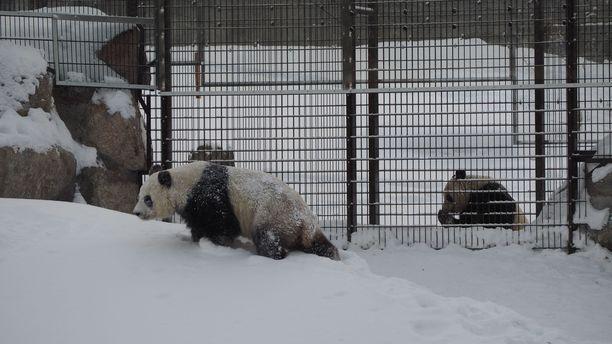 – Mitä enemmän talous on riippuvainen Kiinasta, sitä enemmän Suomi joutuu hiljentymään siitä, mitä Kiina tekee maailmalla, sanoo tutkimusprofessori. Kuvassa Kiinasta Ähtärin eläinpuistoon saapuneet pandat Pyry ja Lumi.