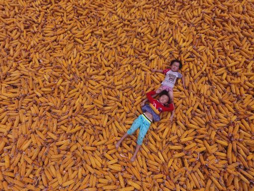 Maissisato on korjattu Kiinan Liaochengissä. Lapset pääsivät leikkimään tähkien sekaan.