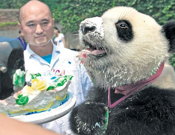 Näin hyvällä ruokahalulla Xin Xin -niminen panda juhli yksivuotissynttäriään Shanxin suojelukeskuksessa Kiinassa.