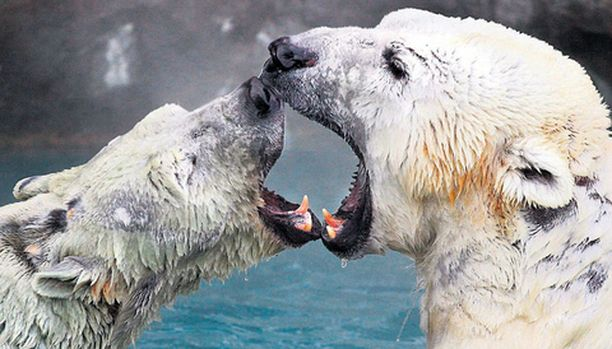 TREFFIT Little One -urosjääkarhu (oik.) tekee tuttavuutta mahdollisen puolisonsa kanssa Cincinnatin eläintarhassa Yhdysvalloissa. Mikäli pariskunta tulee juttuun, päästetään karhulempi täyteen liekkiinsä.