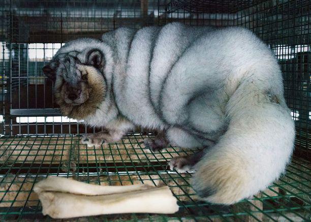 Oikeutta eläimille on julkaissut kuvia ylisuurista ketuista. Järjestön mukaan kuvat ovat Pohjanmaalta.