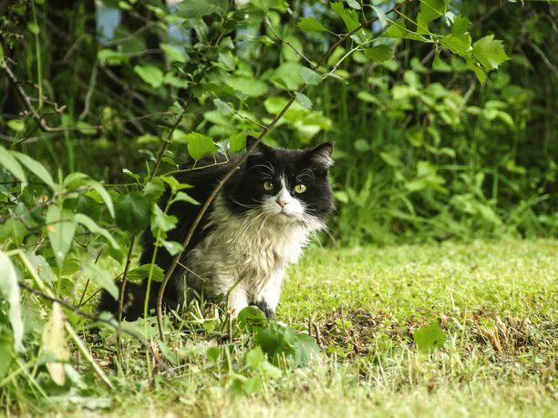 Pahoin vahingoitettu kissa jouduttiin lopettamaan. Kuvan kissa ei liity tapaukseen.